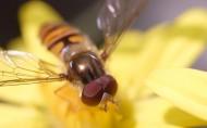 蜜蜂图片(26张)