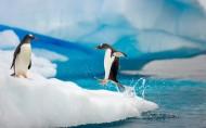 南极企鹅风光图片(15张)
