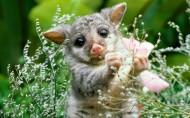 负鼠图片(6张)