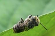 蜜蜂图片(7张)
