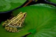 莲池的青蛙图片(8张)