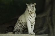 老虎图片(12张)