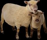 羊族透明背景PNG图片(15张)
