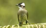 白头翁鸟类图片(7张)