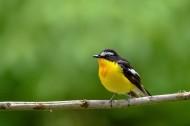 白眉姬鹟鸟图片(6张)