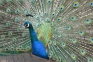孔雀鸟类图片(23张)