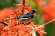 朱背啄花鸟鸟类图片(8张)