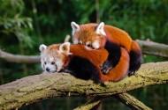 树干上的小熊猫图片(14张)