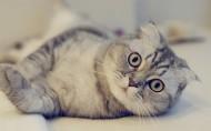 可爱的苏格兰折耳猫图片(14张)