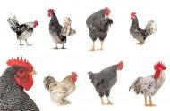 各种类型的鸡图片(11张)