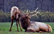 野生麋鹿图片(5张)