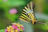 忙碌的蝴蝶图片(10张)