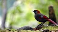 赤尾噪鹛图片(14张)