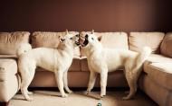 秋田犬图片(22张)