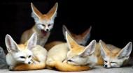 狐狸图片(14张)