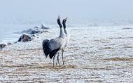 黑颈鹤鸟类图片(9张)