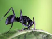 多变形态黑蚂蚁图片(14张)