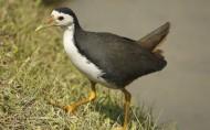白胸苦恶鸟鸟类图片(16张)