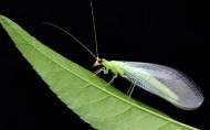 绿色草蛉图片(5张)