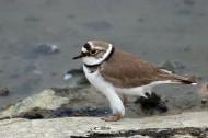 金眶鸻鸟类图片(9张)