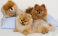 博美犬图片(8张)