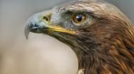 老鹰图片(23张)