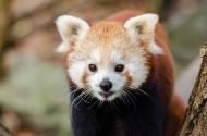 活泼可爱的小熊猫图片(14张)