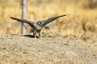 红隼鸟类图片(12张)