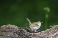 长尾缝叶莺图片(5张)