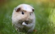 萌宠荷兰猪图片(15张)