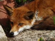 毛茸茸的狐狸图片(10张)