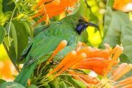金额叶鹎鸟类图片(9张)