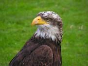 老鹰的头部图片(10张)