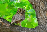 东方角鸮图片(9张)