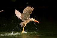 捕食中的夜鹭鸟类图片(13张)