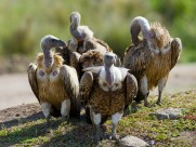 野外秃鹫图片(9张)