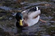 绿头鸭图片(6张)
