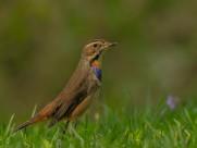蓝喉歌鸲鸟类图片(9张)