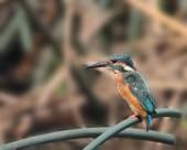翠鸟图片(7张)