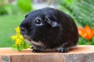 呆萌可爱小豚鼠图片(17张)