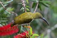 金黄色纹背捕蛛鸟图片(5张)