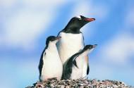 高清温馨企鹅家庭图片(14张)