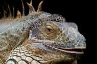 鬣蜥蜥蜴图片(14张)