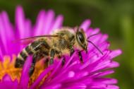采蜜的蜜蜂高清图片(15张)