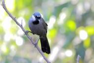 中型鸟之黑喉噪鹛图片(15张)