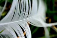 轻盈的羽毛图片(11张)