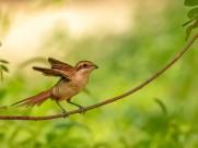 伯劳鸟图片(7张)