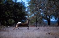 善于游泳的白尾鹿图片(10张)
