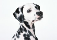 斑点狗图片(19张)
