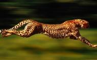 豹子图片(8张)